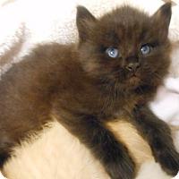 Adopt A Pet :: Sammy - Reston, VA