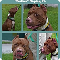 Adopt A Pet :: Walker - Naples, FL