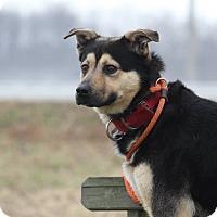 Adopt A Pet :: Ollie - Queenstown, MD