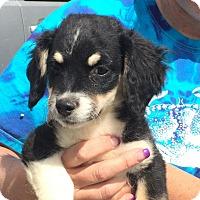 Adopt A Pet :: Anna - Reno, NV