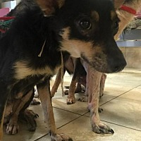 Parson Russell Terrier/Border Collie Mix Dog for adoption in Houston, Texas - Sadie 6