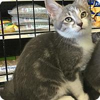 Adopt A Pet :: Nikki - Gilbert, AZ
