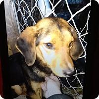 Adopt A Pet :: Bailey - springtown, TX
