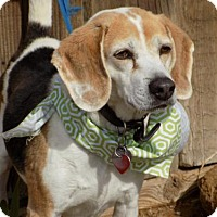 Adopt A Pet :: Henry - Apple Valley, CA