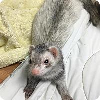 Adopt A Pet :: Sebastian - Fawn Grove, PA