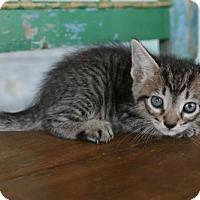 Adopt A Pet :: Oz - San Antonio, TX