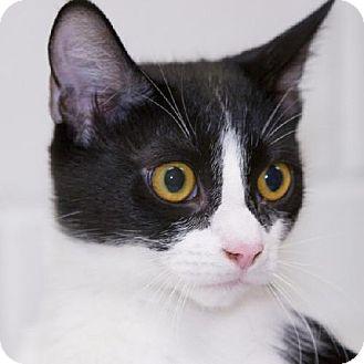 Domestic Shorthair Cat for adoption in Salem, Massachusetts - Russell