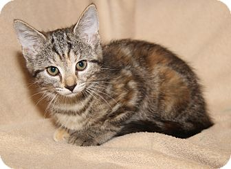 Domestic Shorthair Kitten for adoption in Marietta, Ohio - Cameo (Orphan w/Bella)