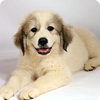 Adopt A Pet :: Vera Pyr - St. Louis, MO