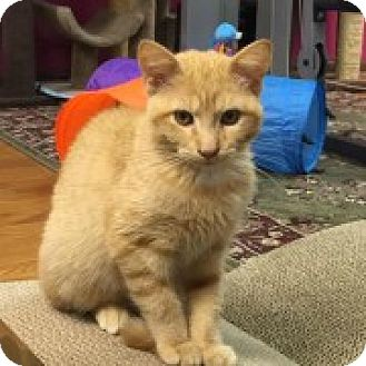 Domestic Shorthair Kitten for adoption in McHenry, Illinois - Soto