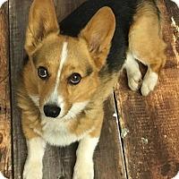 Adopt A Pet :: Norman - Cokato, MN