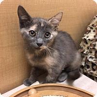 Domestic Shorthair Kitten for adoption in Foothill Ranch, California - Kittens-Kittens
