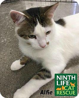 Domestic Shorthair Cat for adoption in Oakville, Ontario - Alfie