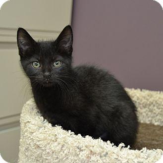 Domestic Shorthair Kitten for adoption in Wheaton, Illinois - Belle