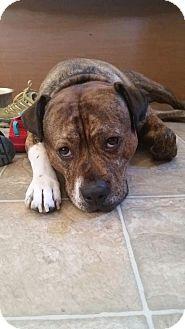 Boxer/Labrador Retriever Mix Dog for adoption in Salem, Oregon - Gunner