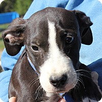 Pit Bull Terrier Mix Puppy for adoption in Colonial Heights, Virginia - Thurston