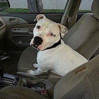 Adopt A Pet :: American Bulldog in Need - Beverly Hills, CA