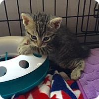Adopt A Pet :: SYLVESTER - Brea, CA