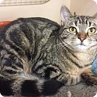 Domestic Mediumhair Cat for adoption in Olive Branch, Mississippi - BRENDA
