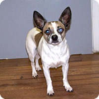 Adopt A Pet :: 17-d01-005 Frenchie - Fayetteville, TN