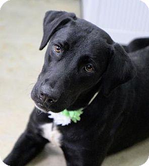 Labrador Retriever Mix Dog for adoption in Picayune, Mississippi - Seven