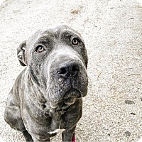 Adopt A Pet :: Luca - Chicago, IL