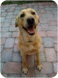 Labrador Retriever Mix Dog for adoption in Altmonte Springs, Florida - Red