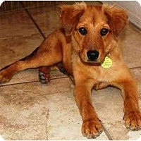 Adopt A Pet :: Perry - Gilbert, AZ