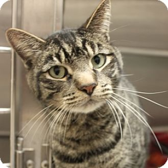 Domestic Shorthair Cat for adoption in Naperville, Illinois - Nathaniel