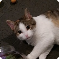 Ragdoll Cat for adoption in Medford, New Jersey - Daisy
