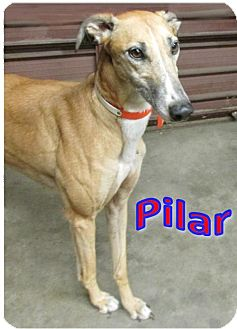 Greyhound Dog for adoption in Thornton, Colorado - Pilar