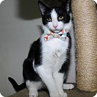 Domestic Shorthair Kitten for adoption in Mississauga, Ontario, Ontario - Wembley