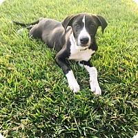Adopt A Pet :: Maggie - Spring, TX