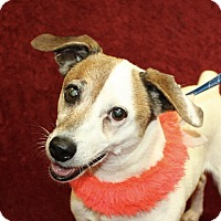 Parson Russell Terrier Mix Dog for adoption in Jackson, Michigan - Libby