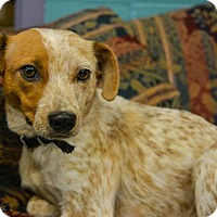 Adopt A Pet :: Ruby - Pittsburg, KS