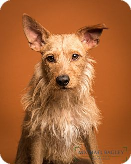Irish Terrier Mix Dog for adoption in Bedminster, New Jersey - Wally Meet Me!!!