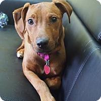 Adopt A Pet :: Puppy - Philadelphia, PA