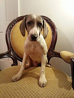 Catahoula Leopard Dog Mix Puppy for adoption in Gaithersburg, Maryland - Ryder