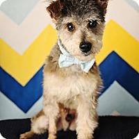 Adopt A Pet :: Nolan - Nashville, TN