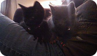 Domestic Shorthair Kitten for adoption in Fairborn, Ohio - Madeline