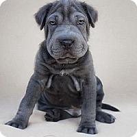 Adopt A Pet :: Hercules - Phoenix, AZ