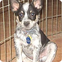 Adopt A Pet :: Scout - Golden Valley, AZ