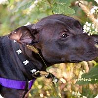 Adopt A Pet :: Kazu - Villa Park, IL