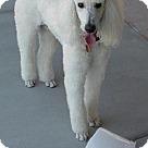 Adopt A Pet :: Obie