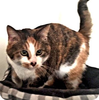 Calico Cat for adoption in Cherry Hill, New Jersey - CC