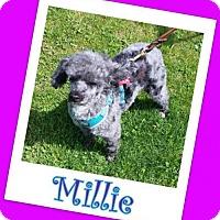 Adopt A Pet :: Millie Franklin - Pataskala, OH