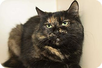 Domestic Shorthair Cat for adoption in Los Angeles, California - Delores