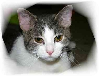 Domestic Shorthair Cat for adoption in Montgomery, Illinois - Gabby