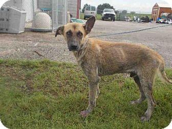 German Shepherd Dog Dog for adoption in Rosenberg, Texas - A008317