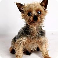 Adopt A Pet :: Connor York - St. Louis, MO